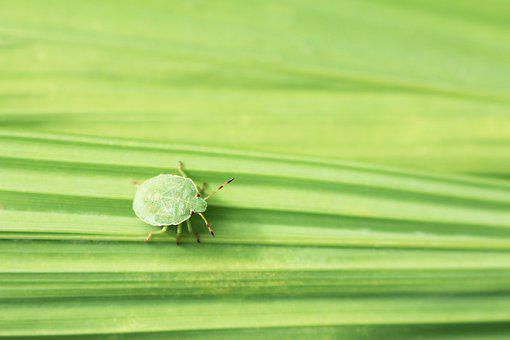 Green, Small, Shield Bug, Bug, Beetle, True Bug, On