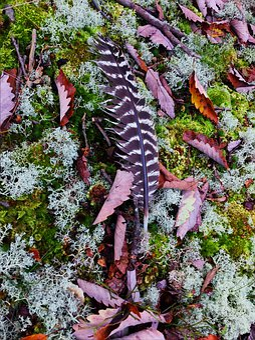 Turkey Feather, Feather, Woodland, Moss, Bird, Turkey
