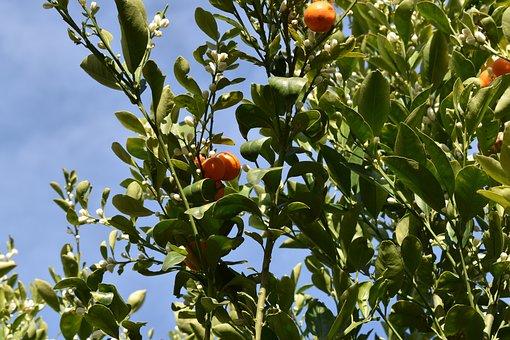 Citrus Tree, Calamansi, Bloom