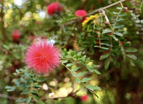 Calliandra, Flower, Blossom, Bloom, Red, Fluffy