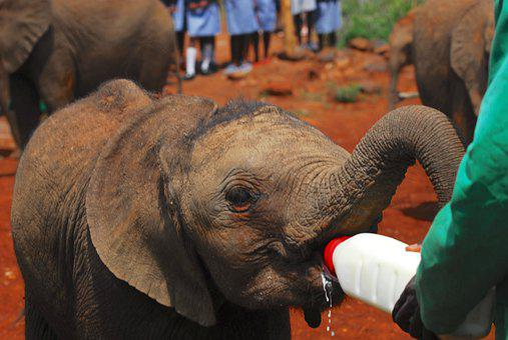Elephants, Bottle Feeding, Nairobi, Kenya, Africa