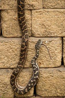 Carpet Python, Python, Eating, Prey