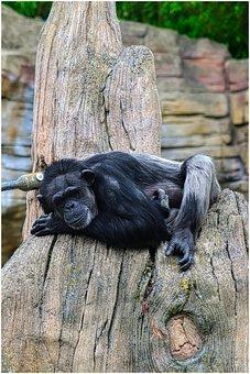 Chimpanzee, Monkey, Log, Concerns, äffchen, Zoo, Wood