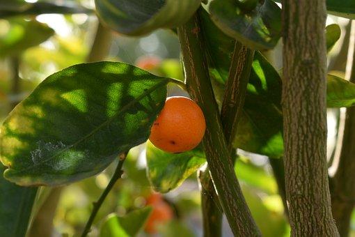 Citrus Tree, Calamansi, Asian Citrus