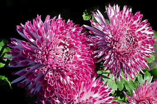 Chrysanthemum, Flowers, Colorful, Autumn, Nature