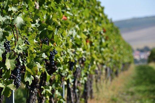 Wine, Moravia, Czech, Green, Green Wine
