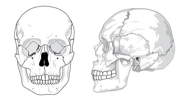 Skull, Diagram, Bones, Anatomy