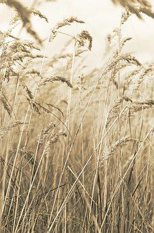 Dry, Dried, Grass, Grasses, Agriculture, Meadow, Field