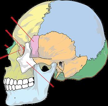 Diagram, Skull, Education, Biology