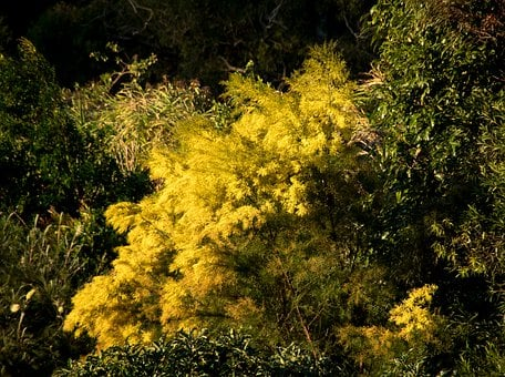 Acacia, Wattle, Flowers, Yellow, Fluffy