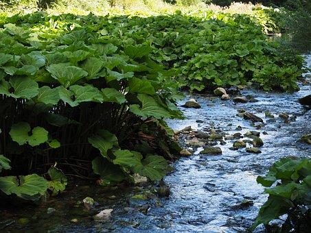Bach, Torrent, River, Common Butterbur, Plant, Grrün