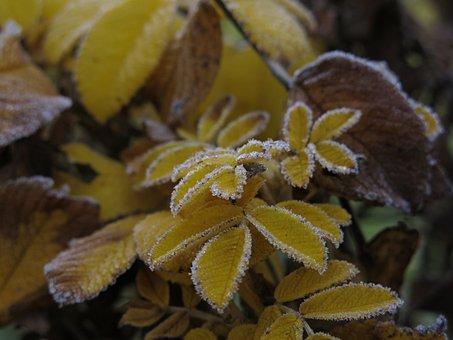 First Frost, Hoarfrost, Frozen, Fall Leaves, Leaves