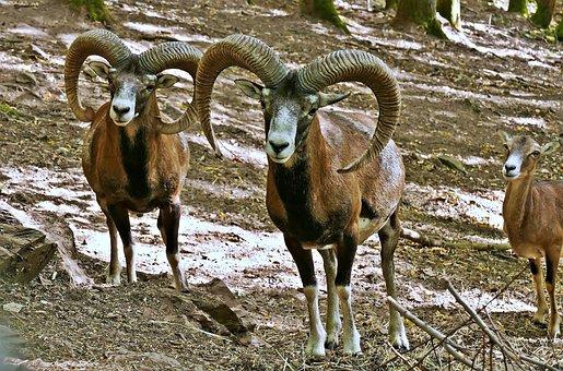 Mouflon, Wild Sheep, Horns, Nature, Mammal, Imposing