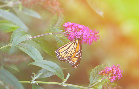 Monarch, Butterfly, Magic, Insect, Nature, Butterflies