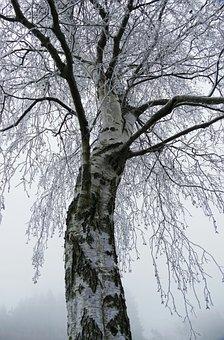 Birch, Tree, Frost, Hoarfrost, Bark, Tribe, Landscape