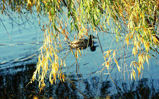 Landscape, Autumn, Lake, Water, Tree, Willow, Leaves