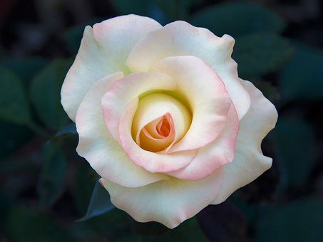 White Rose, Rose, White, Nature, Petals, Love, Romance