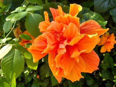 Cefalu, Sicily, Hibiscus, Orange, Flower, Mallow