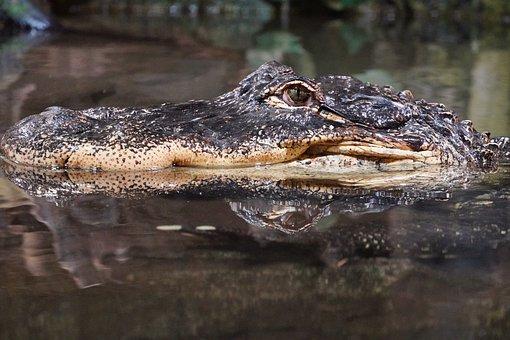 Crocodile, Mirroring, Head, Nature, Water, Alligator