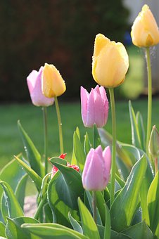 Tulips, Easter, Nature, Spring, Morning, Garden, Flower