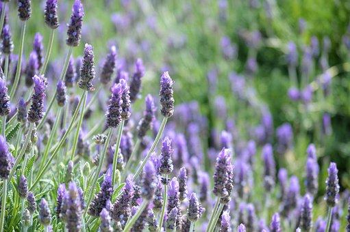 Lavender, Flowers, Nature, Garden, Purple, Summer