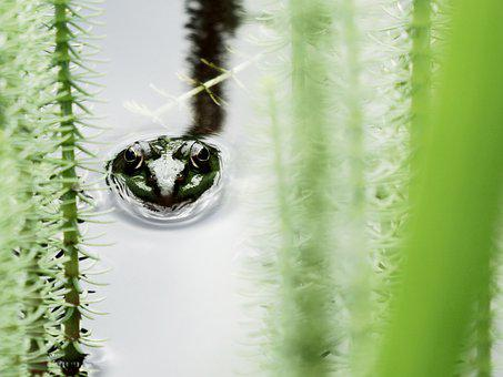 Green, Frog, In, Water, Animal, Nature, Amphibian