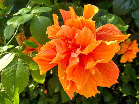 Cefalu, Sicily, Hibiscus, Orange, Flower, Mallow