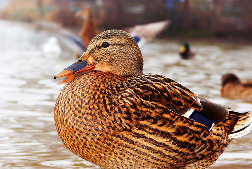 Mallard Duck, Female, Portrait, Profile, Plumage, Eye