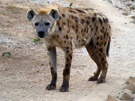 Hyena, Spotted, Crocuta Crocuta, Safari, Predator