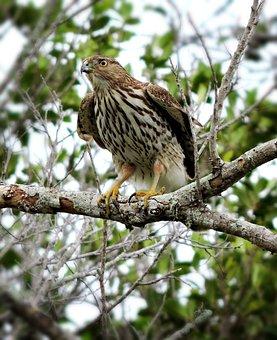 Hawk, Bird Of Prey, Coopers Hawk, Raptor