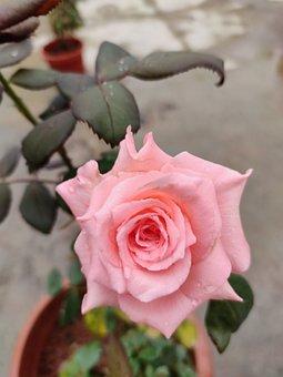 Rose, Pink Rose, Pink, White Pink Rose, Flower