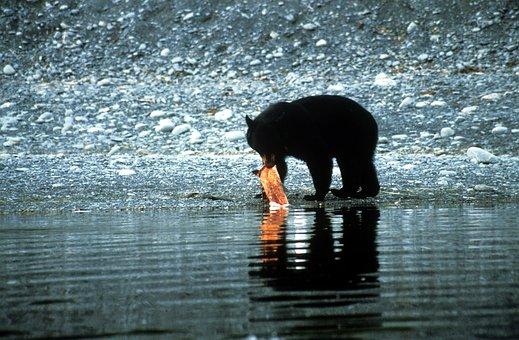 Black Bear, Salmon, Alaska