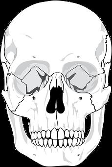 Skull, Human, Diagram, Teeth