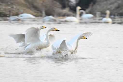 Arrival, Safety, Joy, Accompany, Cygnus, Swan, Flight