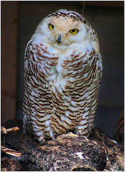 Snowy Owl, Eyes, Owl, Bird, View, Raptor, Plumage
