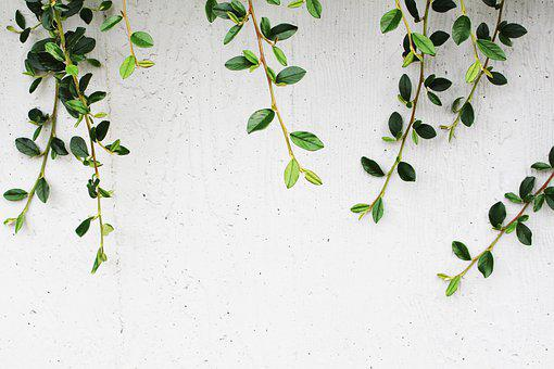 Green, Climbing, Leaves, At, On, White, Wall, Nature