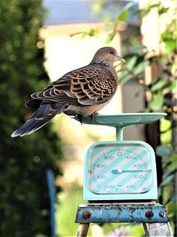 Creatures, Wild Animals, Bird, Dove, Weight, Scale