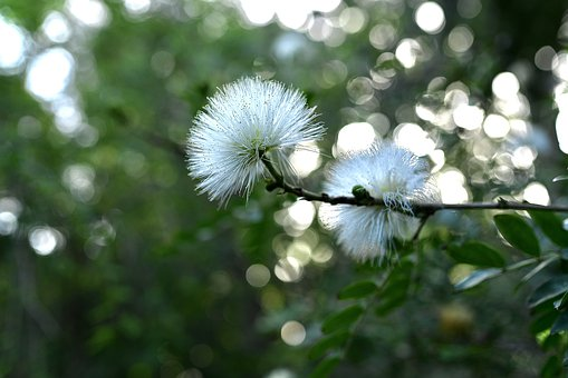 Flower, White, Calliandra, Tender, Beauty, Powder Puff