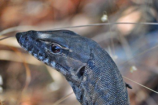 Monitor, Goanna, Reptile, Australia, Claws, Wildlife