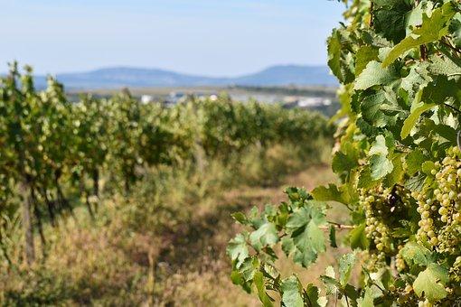 Wine, Moravia, Czech, Green, Horizon