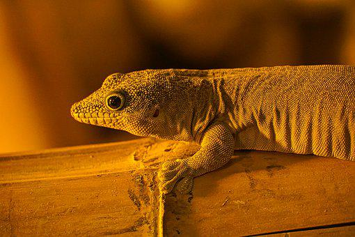 Gecko, Terrarium, Reptile, Nature, Animal, Animal World
