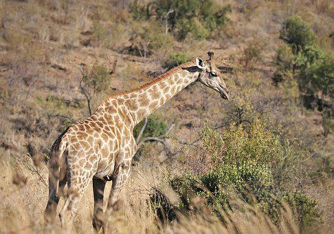 Giraffe, Animals, Safari, Africa, Zoo, Mammal, Nature