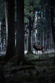 Hirsch, Red Deer, Antler, Animal World, Nature, Wild