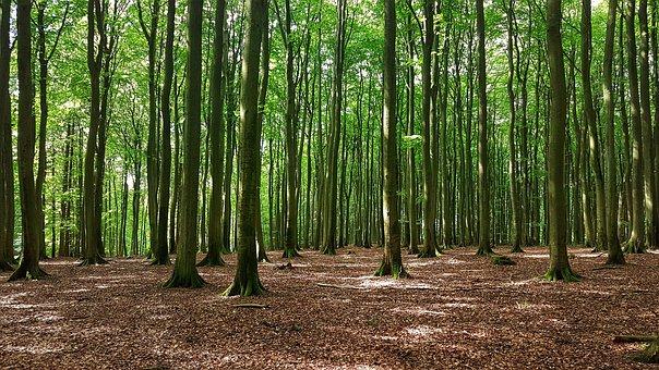 Forest Of Rügen Trees, Beech Wood, Nature