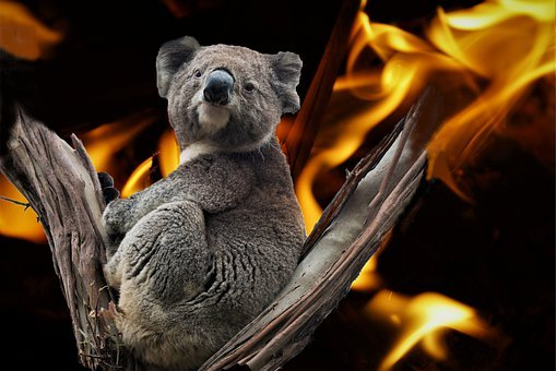 Koala, Australia, Fire Disaster, Composing