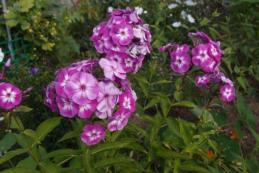 Phlox, Flower, Garden, Dacha, Bloom, Flora, Pink
