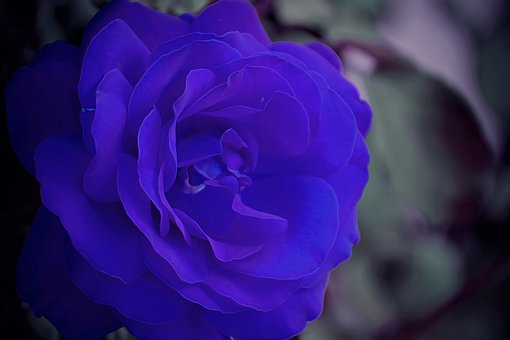 Blue Rose, Dark Gothic Mood, True Love Symbol