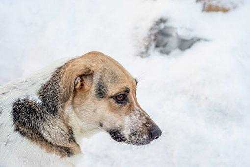 Dog, Winter, Day, Snow, Milk, Tricolor, Shelter