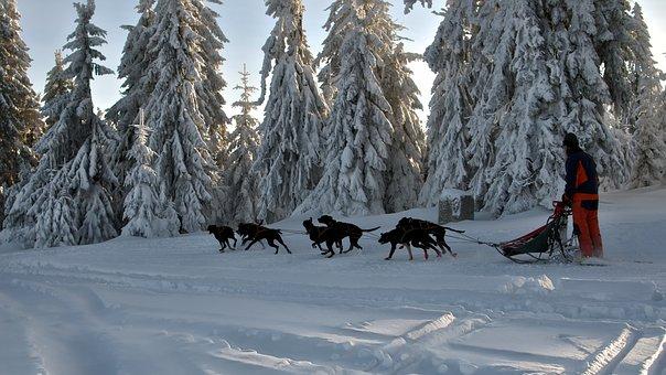 Dog Sledding, Dogs, Cooperation, Hobby, Tourism