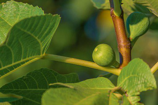 Fig, Tree, Fig Tree, Fruit, Green, Sweet, Healthy